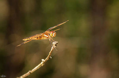 Photograph - Painted Skimmer by Philip Rispin