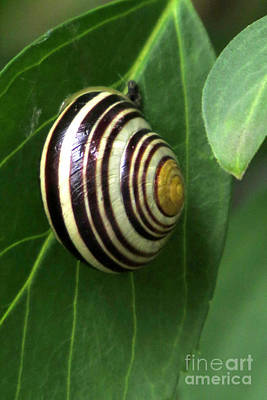 Photograph - Painted Snail by Frank Townsley