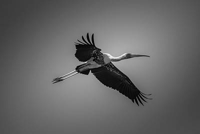 Photograph - Painted Stork In Flight - Bw by Ramabhadran Thirupattur