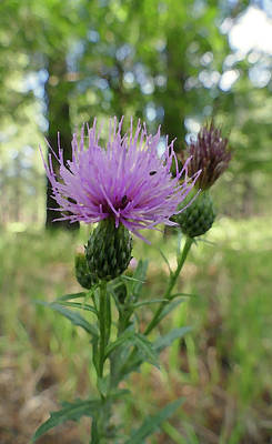 Photograph - Painted Thistle by Laurel Powell