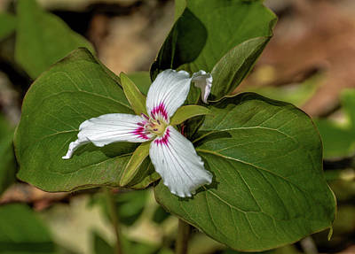 Photograph - Painted Trillium by Randy J Heath