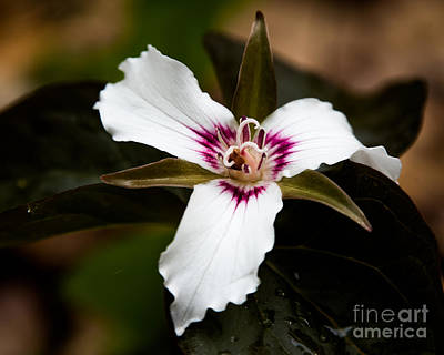Photograph - Painted Trillium by Ronald Grogan