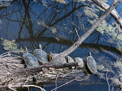 Photograph - Painted Turtle Dance Line by Edward Peterson