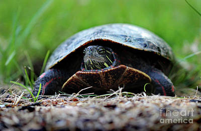 Photograph - Painted Turtle by Karen Adams