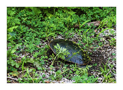 Photograph - Painted Turtle Nest by Edward Peterson