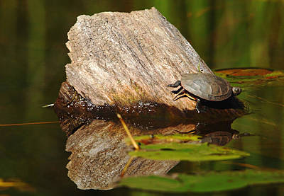 Photograph - Painted Turtle Painted River by Debbie Oppermann