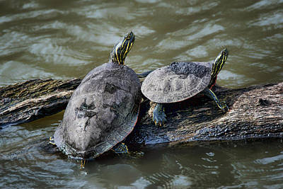 Photograph - Painted Turtle Pair by Nikolyn McDonald