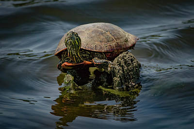 Photograph - Painted Turtle by Ray Congrove