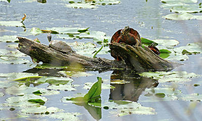 Photograph - Painted Turtle Shell Display by Bill Jordan