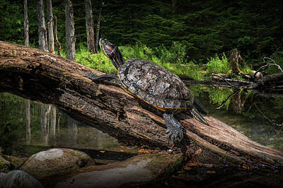 Photograph - Painted Turtle Sitting On A Log by Randall Nyhof