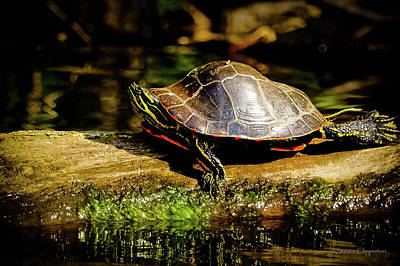 Photograph - Painted Turtle by Steven Clipperton