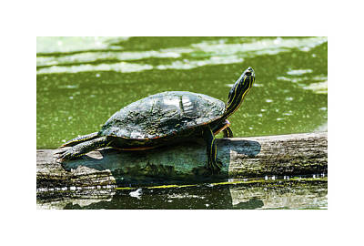 Photograph - Painted Turtle Stretching by Edward Peterson