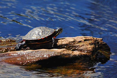 Photograph - Painted Turtle Sunbathing by Debbie Oppermann