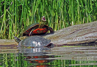 Photograph - Painted Turtles by Cindy Murphy - NightVisions
