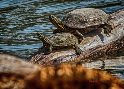 Photograph - Painted Turtles by Edward Peterson
