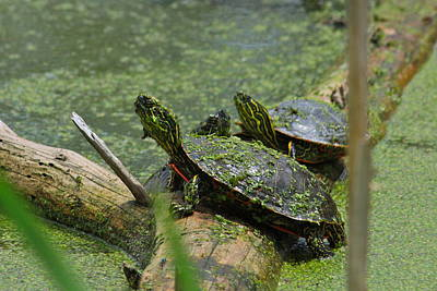 Photograph - Painted Turtles by Karon Melillo DeVega