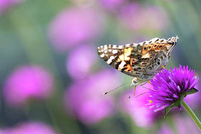 Photograph - Painterly Painted Lady 2 by Brian Hale