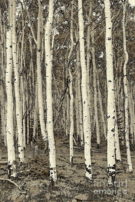 Photograph - Painterly Sepia Aspen And Evergreen by John Stephens