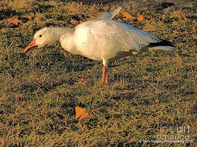 Photograph - Painting The Snow Goose by Tami Quigley