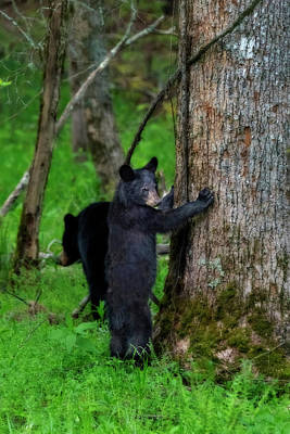 Photograph - Paintography - Bears In The Woods Hand On Tree by Dan Friend
