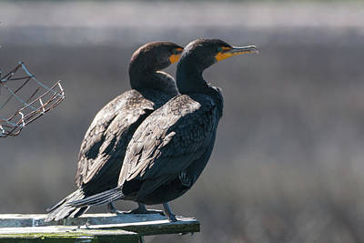 Photograph - Pair Double-crested Cormorant 3 March 2018 by D K Wall