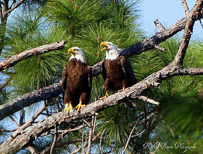 Pair Of American Bald Eagle Art Print by Barbara Bowen