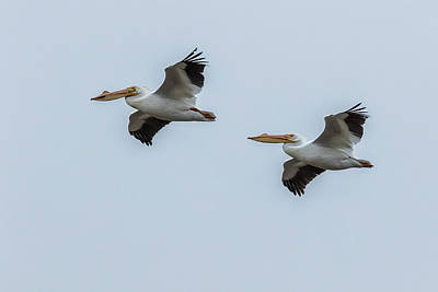 Photograph - Pair Of American White Pelicans In Flight by Belinda Greb