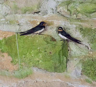 Photograph - Pair Of Barn Swallows by Melinda Fawver