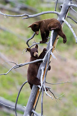 Photograph - Pair Of Bear Cubs In A Tree by Mark Miller