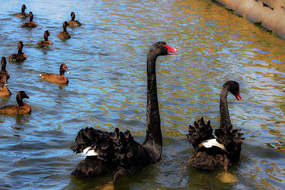 Photograph - Pair Of Black Swans by Miroslava Jurcik