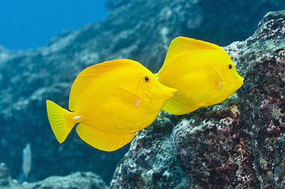 Undersea Photograph - Pair Of Bright Yellow Tropical Fish On Coral Reef by Jeff Hunter