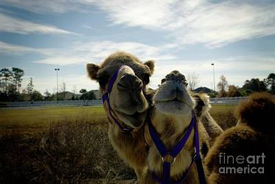 Photograph - Pair Of Camels by Bob Pardue