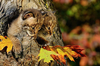 Pair Of Cautious Bobcat Kittens Looking Out From The Hollow Of A Art Print by Reimar Gaertner