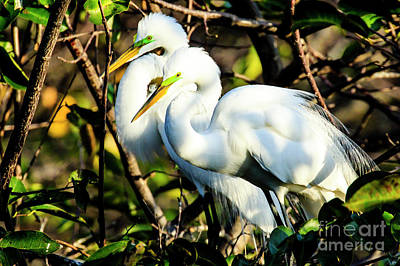 Photograph - Pair Of Courting Great Egrets by Ben Graham