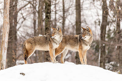 Photograph - Pair Of Coyotes by Josef Pittner