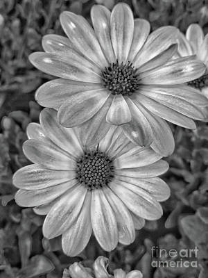 Photograph - Pair Of Daisys - Bw by Tony Baca