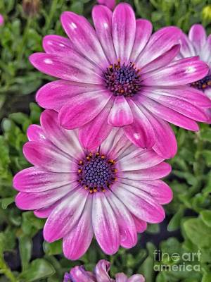 Photograph - Pair Of Daisys by Tony Baca