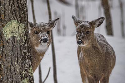 Photograph - Pair Of Deer by Paul Freidlund