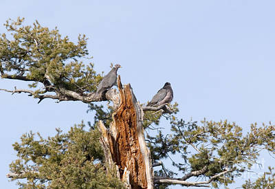 Steven Krull Royalty-Free and Rights-Managed Images - Pair of Doves in Pike National Forest by Steven Krull