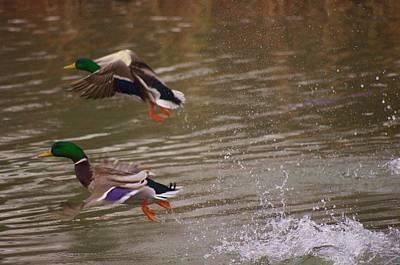 Photograph - Pair Of Ducks by Buddy Scott