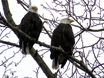 Photograph - Pair Of Eagles - Raptors by Marie Jamieson