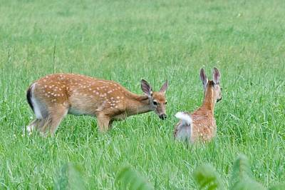 Photograph - Pair Of Fawns by Michael Peychich