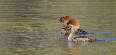Photograph - Pair Of Female Hooded Mergansers by Carla Parris