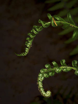 Photograph - Pair Of Ferns by Jean Noren