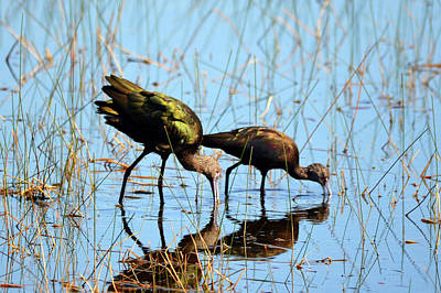 Photograph - Pair Of Glossy Ibises by Carla Parris