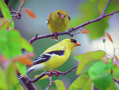Pair Of Goldfinches Art Print