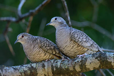 Photograph - Pair Of Inca Doves by Debra Martz
