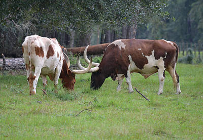 Photograph - Pair Of Longhorn Cattle In Florida by rd Erickson