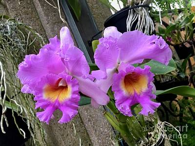 Photograph - Pretty Purple Orchids by Jeannie Rhode