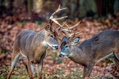Photograph - Pair Of Male Whitetail Deer Butting Antlers by William Bitman